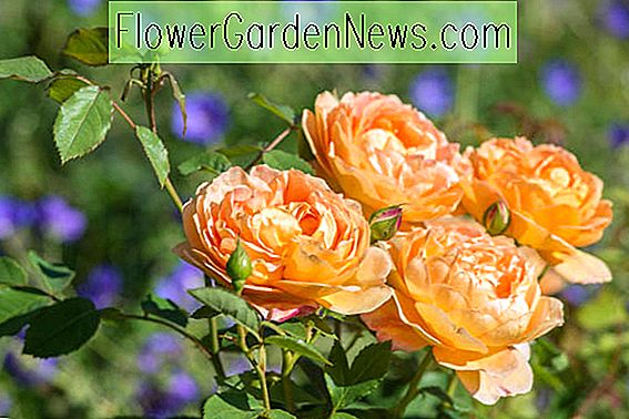 Rosa 'Lady of Shalott' (Ausnyson)