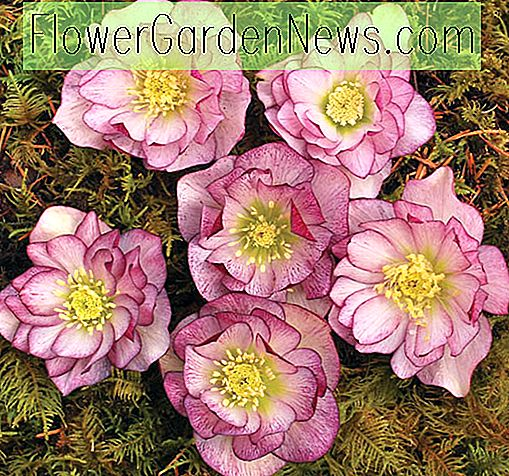Helleborus Winter Jewels 'Pebermynte Ice'