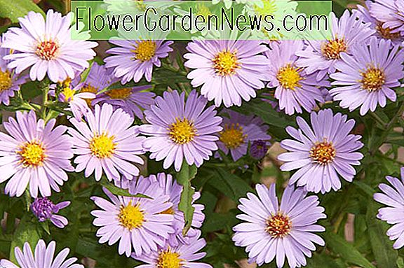 Aster novi-belgii 'Audrey' (New York Asters)