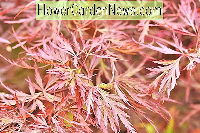 Acer palmatum 'Red Dragon', Japanischer Ahorn 'Red Dragon', Laceleaf Japanischer Ahorn 'Red Dragon', Cutleaf Japanischer Ahorn 'Red Dragon', Fadenblatt Japanischer Ahorn 'Red Dragon', Acer palmatum var. Dissectum Roter Drache, Roter Japanischer Ahorn, Roter Acer