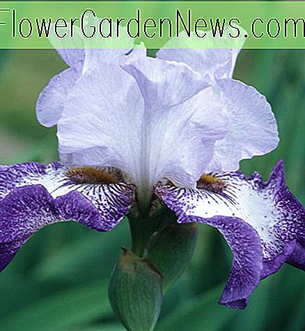 Iris 'Everything Plus' (Iris barbudo)