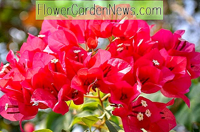 Bougainvillea 'James Walker'