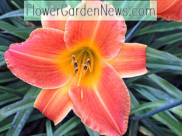 Hemerocallis 'Bright Sunset' (Taglilie)