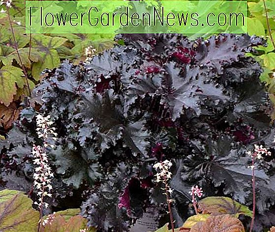 Heuchera 'Black Taffeta' (cloches de corail)