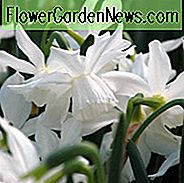 Narcissus 'Ice Wings', Daffodil 'Ice Wings', Triandrus Daffodil 'Ice Wings', Triandrus Narcissen, Angel's Tears, Spring Bulbs, Spring Flowers, Mid-Spring Narcis, Triandrus Narcissus, White Daffodil