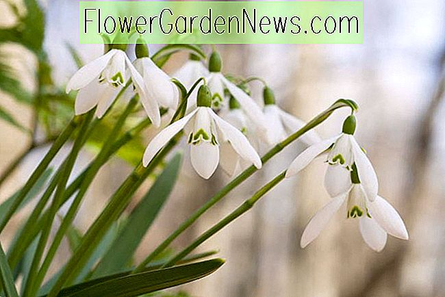 When Do Snowdrops (Galanthus) Flower?