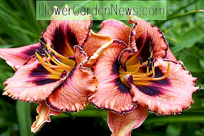 Hemerocallis 'Awesome Blossom' (Reblooming Daylily)
