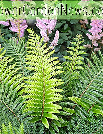 Polystichum setiferum (Soft Field Fern)