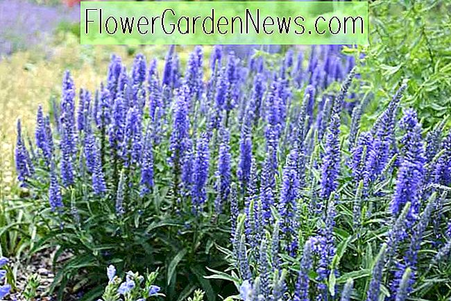 Veronica 'Moody Blues Dunkelblau' (Spike Speedwell)