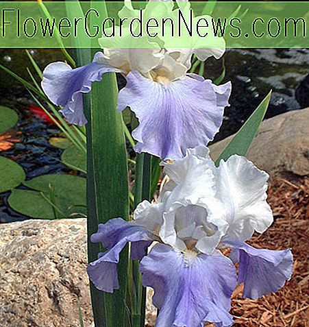 Iris 'Stairway to Heaven' (Bearded Iris)