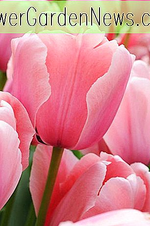 Tulipa 'Pink Diamond' (Single Late Tulip)