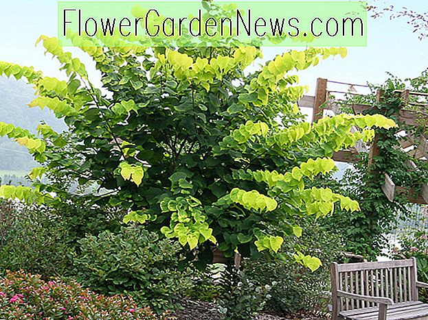 Cercis canadensis 'Hearts of Gold' (Eastern Redbud)