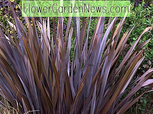 Phormium tenax Purpureum Group (New Zealand Lin)