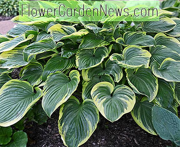 Hosta 'Victory' (Weegbree Lily)