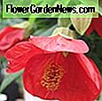 Abutilon pictum 'Thompsonii' (ทาสี Abutilon)