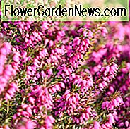 Erica Carnea 'Myretoun Ruby', Winter Heide 'Myretoun Ruby', Heather 'Myretoun Ruby', Snow Heath 'Myretoun Ruby', Spring Heath 'Myretoun Ruby', Alpine Heath 'Myretoun Ruby'