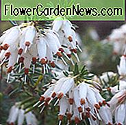Erica Carnea 'Springwood White', Winter Heath 'Springwood White', Heather 'Springwood White', Snow Heath 'Springwood White', Spring Heath 'Springwood White', Alpine Heath 'Springwood White', White Heath, White Heather
