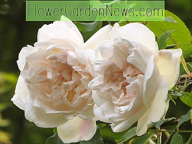 Rosa 'Madame Alfred Carriere'