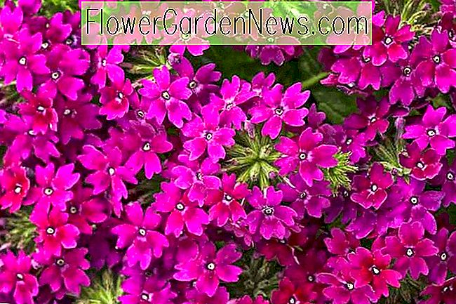 Verbena 'Superbena Royale Plum Wine'