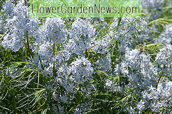 Amsonia hubrichtii (Narrowleaf Bluestar)