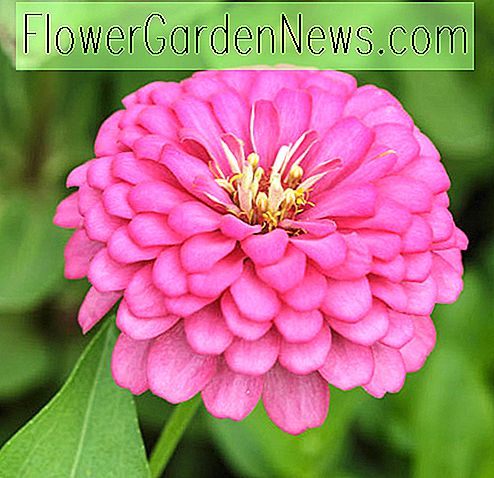 Zinnia 'Benary's Giant Bright Pink'