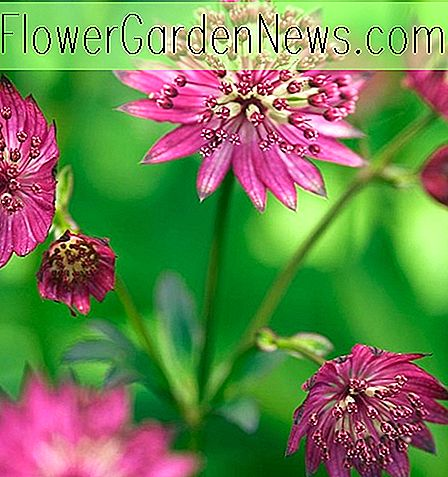Astrantia major 'Claret' (Great Masterwort)