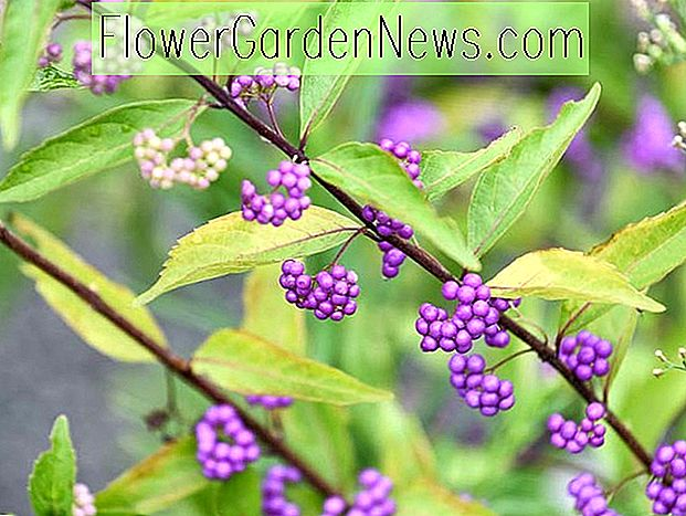Dichotoma de Callicarpa (Purple Beautyberry)