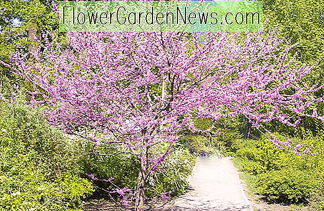 Cercis canadensis (Ost-Redbud)