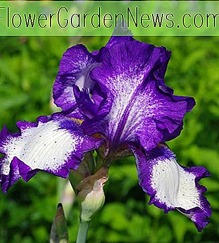 Iris 'Stepping Out' (Bearded Iris)