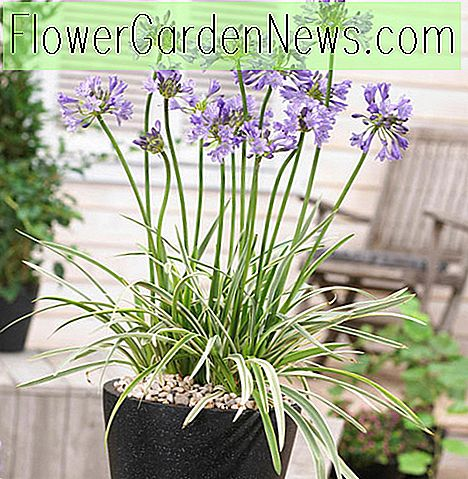 Agapanthus 'Silver Moon' (Afrikanische Lilie)