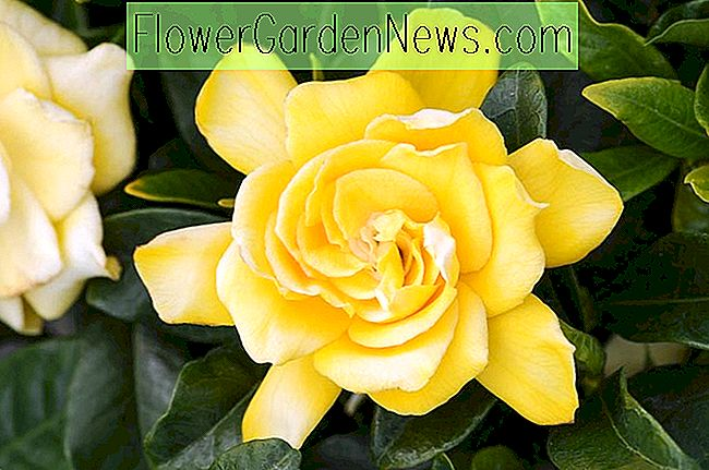 Gardenia jasminoides 'Golden Magic' (Cape Jasmine)