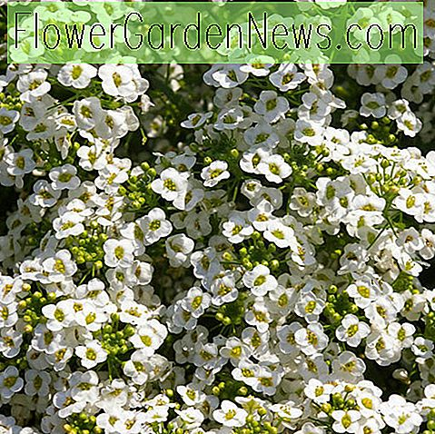 Lobularia 'Snow Princess' (Sweet Alyssum)