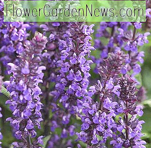Salvia nemorosa 'New Dimension Blue' (salvie)