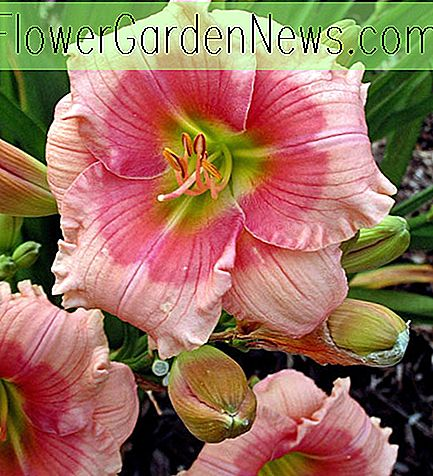 Hemerocallis 'Janice Brown' (Reblooming Daylily)