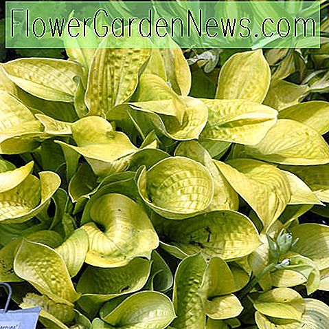 Hosta 'Maui Buttercups' (Plantain Lily)