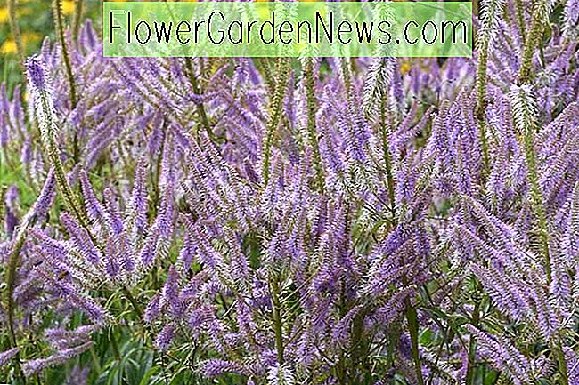Veronicastrum virginicum 'Lavendelturm' (Culver's Root)