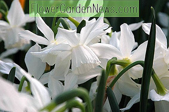 Narcissus 'Ice Wings' (Triandrus Narcissen)