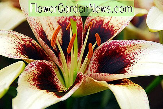 Lilium 'Black Spider' (Asiatisk Lily)