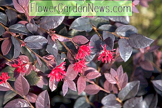 Loropetalum chinense 'Red Diamond' (Chinese franjebloem)