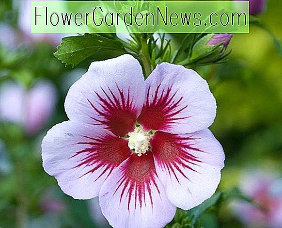 Hibiscus syriacus 'Orchid Satin' (Rose of Sharon)