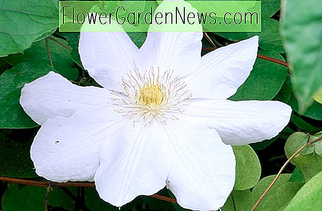 Clematis 'Huldine' (Late Large-Flowered Clematis)