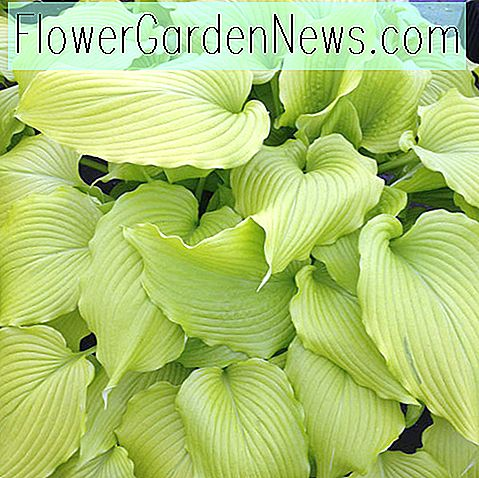 Hosta 'Dancing Queen' (Weegbree Lily)
