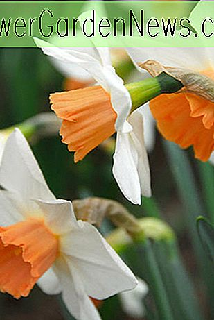 Narcissus 'Romance' (Large-Cupped Daffodil)