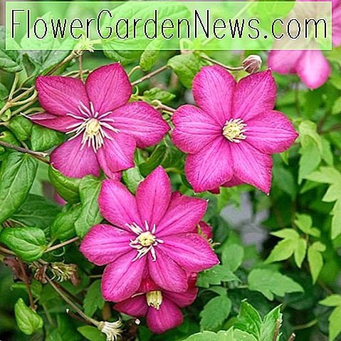 Clematis 'Ville de Lyon' (Late Large-Flowered Clematis)