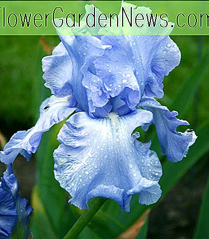 Iris 'Cloud Ballet' (Iris barbu rebellissant)