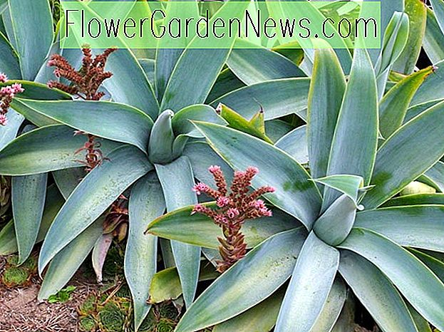 Agave attenuata 'Boutin Blue' (Fox Tail Agave)