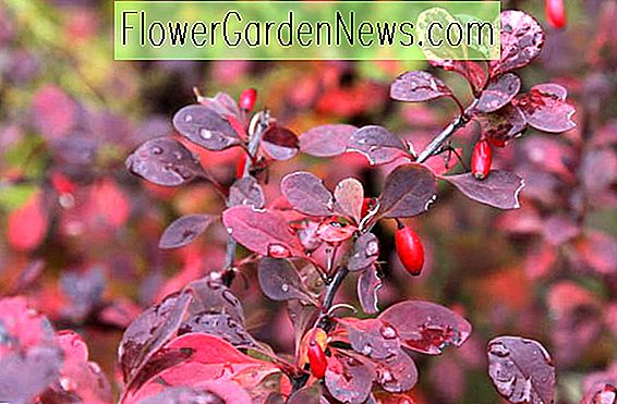 Berberis thunbergii 'Crimson Pygmy' (japansk Barberry)