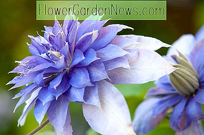 Clematis 'Multi Blue' (Early Large Flowered Clematis)