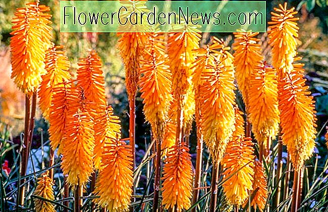 Kniphofia 'Bees' Sunset '(Red Hot Poker)