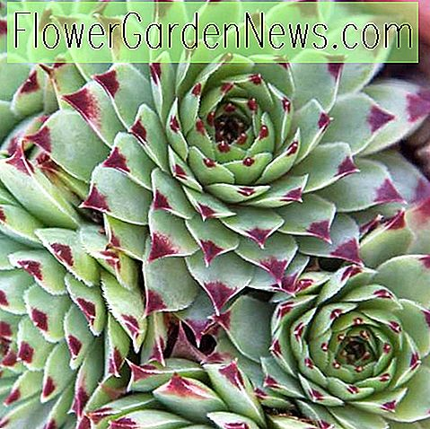 Sempervivum calcareum 'Greenii' (kippen en kuikens)